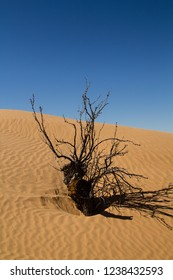 Old dying branches of a bush in the Sahara in Tunisia