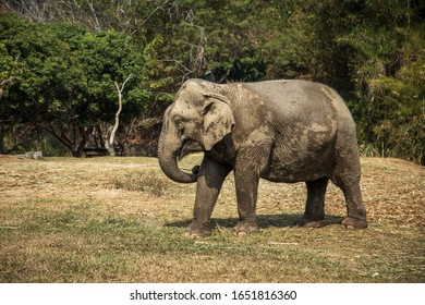 Old elephant in Chiang Mai Thailand