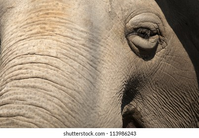 Old elephant in zoo.