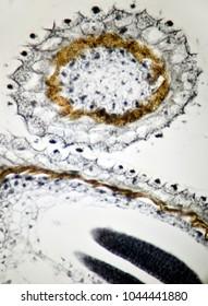 Old embryo, shepherd's purse, capsella bursa-pastoris, under the microscope