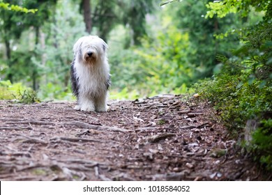 An old engish sheepdog is waiting for its owner at a path throug