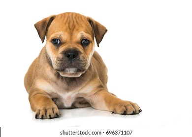 Old english bulldog puppy