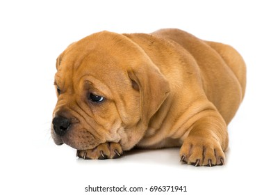 Old english bulldog puppy isolated on white