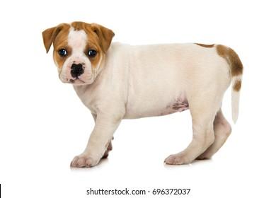 Old english bulldog puppy isolated on white