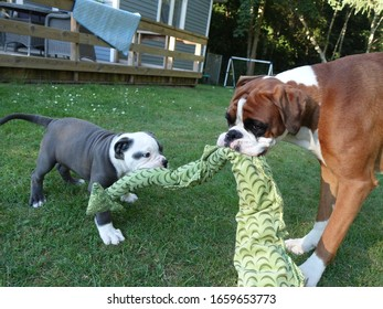 Old English bulldog puppy playing with boxer dog