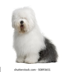 Old English Sheepdog, 3 Years old, sitting in front of white background