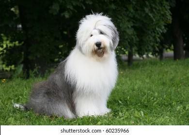 old english sheepdog bobtail
