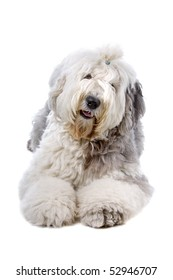 Old English Sheepdog in front of a white background