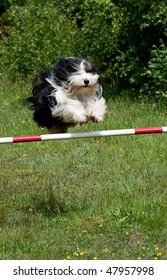 Old English Sheepdog jumping