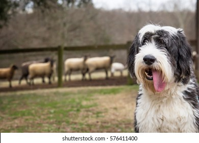 Old English Sheepdog with long tongue sticking out in the foreground with sheep in the background