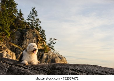 Old English Sheepdog outdoor portrait  lying on cliff