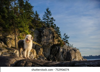 Old English Sheepdog outdoor portrait standing on cliff by ocean