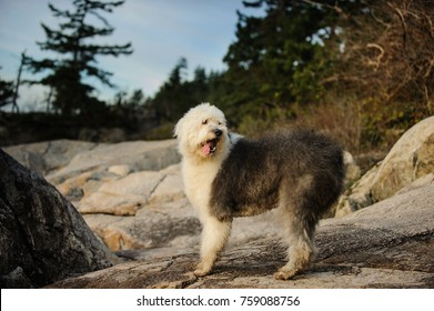 Old English Sheepdog outdoor portrait in nature