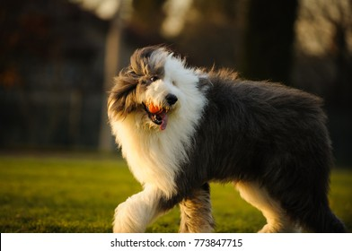 Old English Sheepdog outdoor portrait walking on grass with ball
