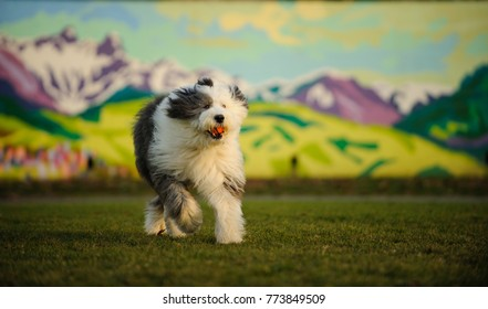 Old English Sheepdog outdoor portrait running on grass with mural in background