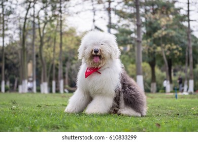 The Old English Sheepdog outdoors on the grass