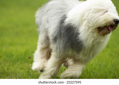 The Old English Sheepdog play on the grass.