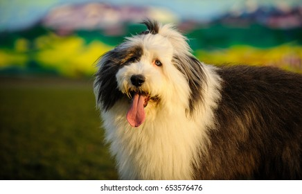 Old English Sheepdog portrait against grass and mural