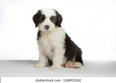 Old English Sheepdog puppy on white background
