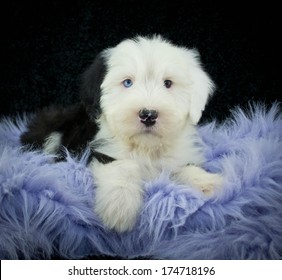 Old English Sheepdog puppy on a purple blanket. With a black background.