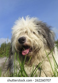 Old English sheepdog resting in green grass