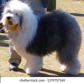 Sheep Dog Images, Stock Photos & Vectors | Shutterstock