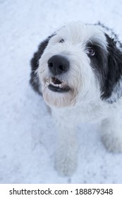 Old English Sheepdog waiting for a treat in the snow