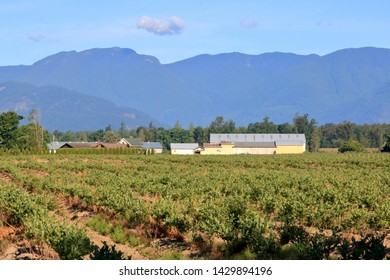 An old established blueberry farm and the acres of plants set against rolling hills in the background.