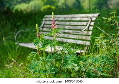 An old faded wooden slatted bench with curved metal arms sits amongst pink lupins in a traditional cottage garden. A place to rest and enjoy the early summer warmth in the English countryside.