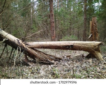 Old fallen tree in spring forest, background
