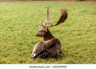 An old fallow deer rests on the edge of the forest
