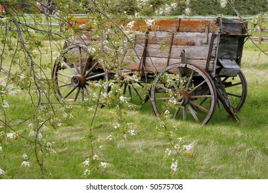old farm wagon covered in lichen behind tree branches with white blossoms