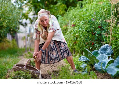 Old farmer lady collecting potatoes in a thatched basket in her garden