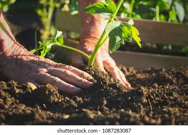 Old farmer planting tomatoes seedling in organic garden. Gardening young plant into bed.