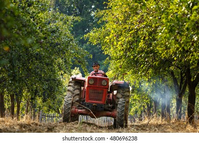 Old farmer with tractor and trailer loading plums at harvest time in an orchard