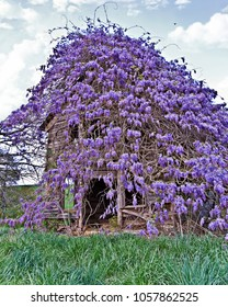 Old Farmhouse Covered with Wisteria
