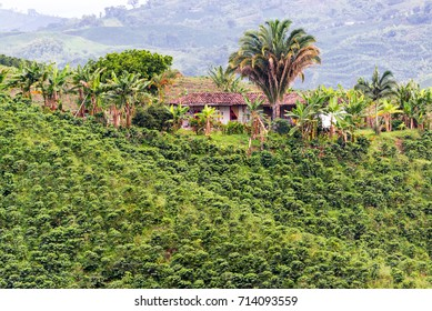 Old farmhouse on hill surrounded by coffee plants near Manizales, Colombia