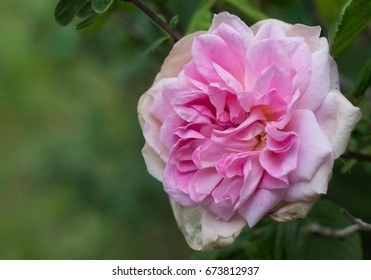 Old fashioned pink rose