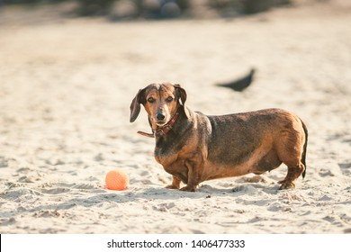 An old fat little brown dachshund dog plays with a rubber red ball on a sandy beach in sunny weather.