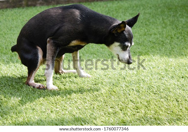 Old female dog relieving itself on artificial grass with copy space bottom right. Dog squats down to pee on grass