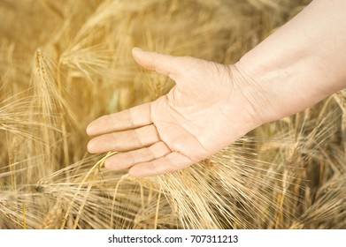 Old female hands are touching the ear of wheat at the golden hour with instagram filter..Concept fertility and prosperity