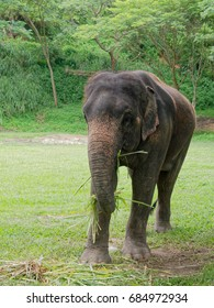 Old female Indian elephant eating grass while breaking between the show in elephant camp in northern part of Thailand