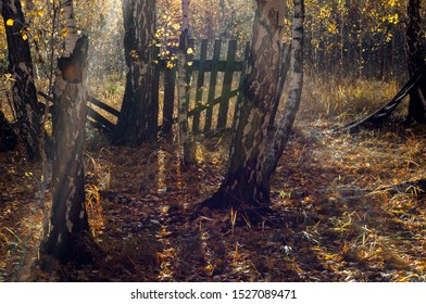 Old fence in the forest. Abandoned suburban area. Sunlight, shadows. Autumn, fallen yellow leaves, white trunks of birches.