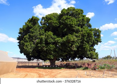 Old ficus tree protected. Ficus tree agriculture landscape. Israel