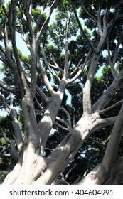 Old Fig Tree in Santa Barbara near the train station.