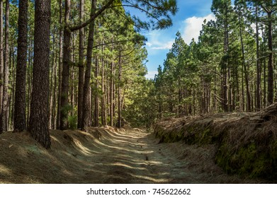 Old forest La Esperanza, natural park of Tenerife island. Canary islands Spain