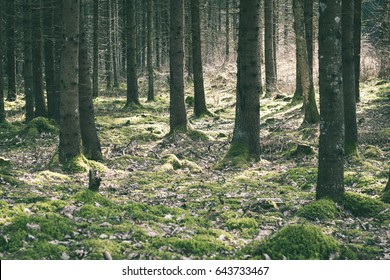 Old forest with moss covered trees and rays of sun in summer - vintage green look