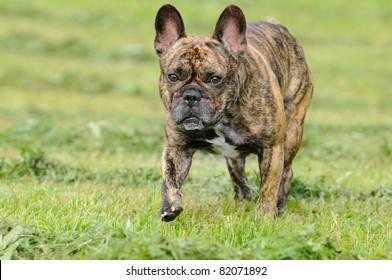 chiwawa französische bulldogge mix