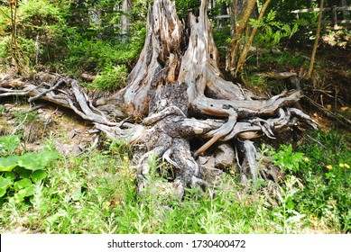 Old funny stump with tangled roots. Aged rotten tree with twisted and tangle root in summer forest