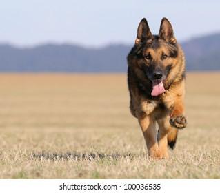 old german sheepdog running